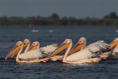 Pelicanos comuns do branco que alimentam no lago Nebunu fotografia de stock royalty free