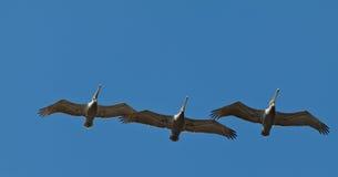 Pelicanos Costa-Rica Fotografia de Stock Royalty Free