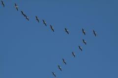 Pelicanos Costa-Rica Foto de Stock Royalty Free