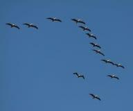 Pelicanos Costa-Rica Fotos de Stock Royalty Free