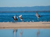 pelicanos da aterrissagem Foto de Stock Royalty Free