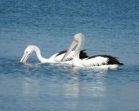 Pelicanos da pesca Imagens de Stock