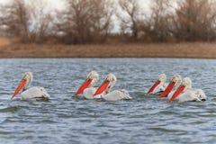 Pelicanos Dalmatian (crispus do Pelecanus) imagens de stock