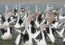 Pelicanos de alimentação Fotografia de Stock