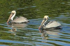 Pelicanos de Brown Fotografia de Stock Royalty Free