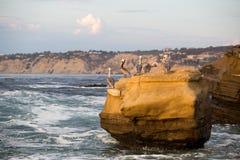 Pelicanos de Brown Imagens de Stock Royalty Free