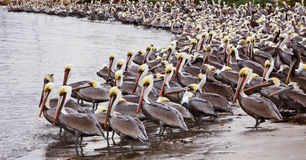 Pelicanos de Brown Fotografia de Stock Royalty Free