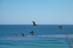 Pelicanos de Brown que voam sobre o oceano Imagem de Stock