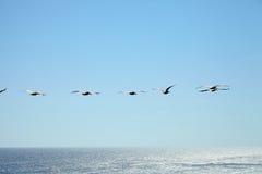 Pelicanos de Brown que voam sobre o oceano Imagens de Stock