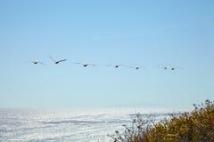 Pelicanos de Brown que voam sobre o oceano Fotografia de Stock Royalty Free