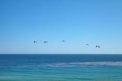 Pelicanos de Brown que voam sobre o oceano Fotos de Stock