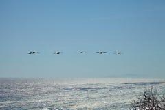 Pelicanos de Brown que voam sobre o oceano Foto de Stock