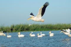 Pelicanos de Senegal Imagem de Stock