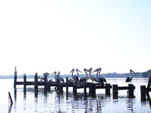 Pelicanos de Toukley Imagem de Stock