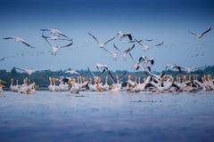 Pelicanos do delta de Danúbio Foto de Stock Royalty Free