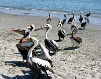 Pelicanos do Peru na praia Fotografia de Stock