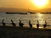 Pelicanos do Peru no por do sol fotos de stock