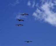 Pelicanos do vôo Fotografia de Stock Royalty Free