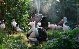 Pelicanos e flamingos Foto de Stock