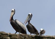 Pelicanos e gaivota Fotografia de Stock