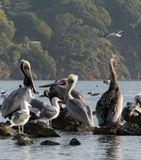 Pelicanos e gaivotas 1 Imagem de Stock