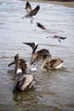 Pelicanos e gaivotas bonitos na costa Foto de Stock Royalty Free