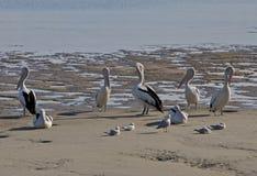 Pelicanos e gaivotas que estão e que sentam-se na praia em Austrália Imagem de Stock