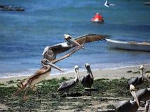 Pelicanos em Algarrobo, o Chile Fotografia de Stock