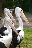 Pelicanos em Nelson \ 'em louro de s imagem de stock royalty free