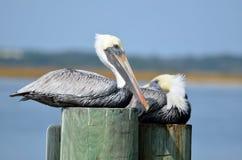 Pelicanos em pilhas Fotos de Stock