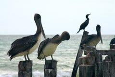 Pelicanos em pilhas Imagens de Stock Royalty Free