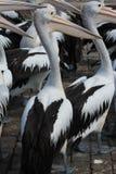 Pelicanos em rochas Imagens de Stock