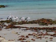 Pelicanos em seguido Imagem de Stock