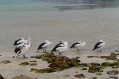 Pelicanos em seguido Imagens de Stock Royalty Free
