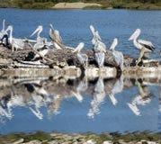 Pelicanos em um mar foto de stock