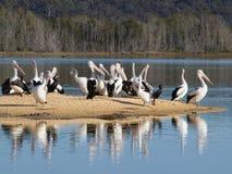 Pelicanos em um sandbar Fotografia de Stock Royalty Free