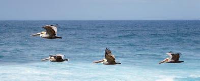Pelicanos em voo Imagem de Stock Royalty Free