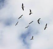 Pelicanos em voo Imagens de Stock