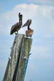 Pelicanos empoleirados Fotografia de Stock Royalty Free