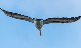 Pelicanos, envergadura de s Imagens de Stock