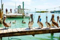 Pelicanos marrons grandes em Islamorada, chaves de Florida Fotografia de Stock Royalty Free