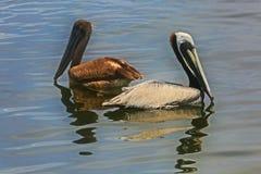Pelicanos masculinos e fêmeas Imagens de Stock