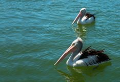 Pelicanos na água Fotografia de Stock
