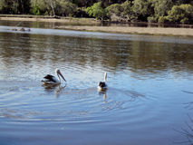 Pelicanos na angra de Boambee Foto de Stock Royalty Free