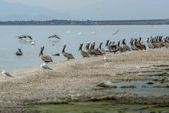 Pelicanos na costa de mar de Salton fotografia de stock royalty free