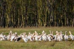Pelicanos na frente da floresta amarela da acácia Imagens de Stock Royalty Free