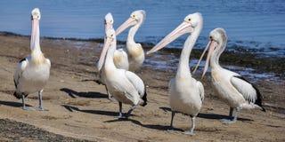 Pelicanos na praia 1 Fotos de Stock