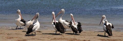 Pelicanos na praia 2 Fotos de Stock