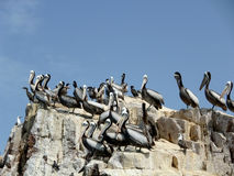 Pelicanos nas ilhas de Ballestas Fotografia de Stock Royalty Free
