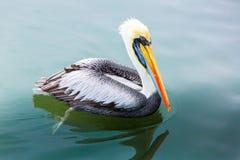 Pelicanos nas ilhas de Ballestas, Peru Ámérica do Sul no parque nacional de Paracas. imagens de stock